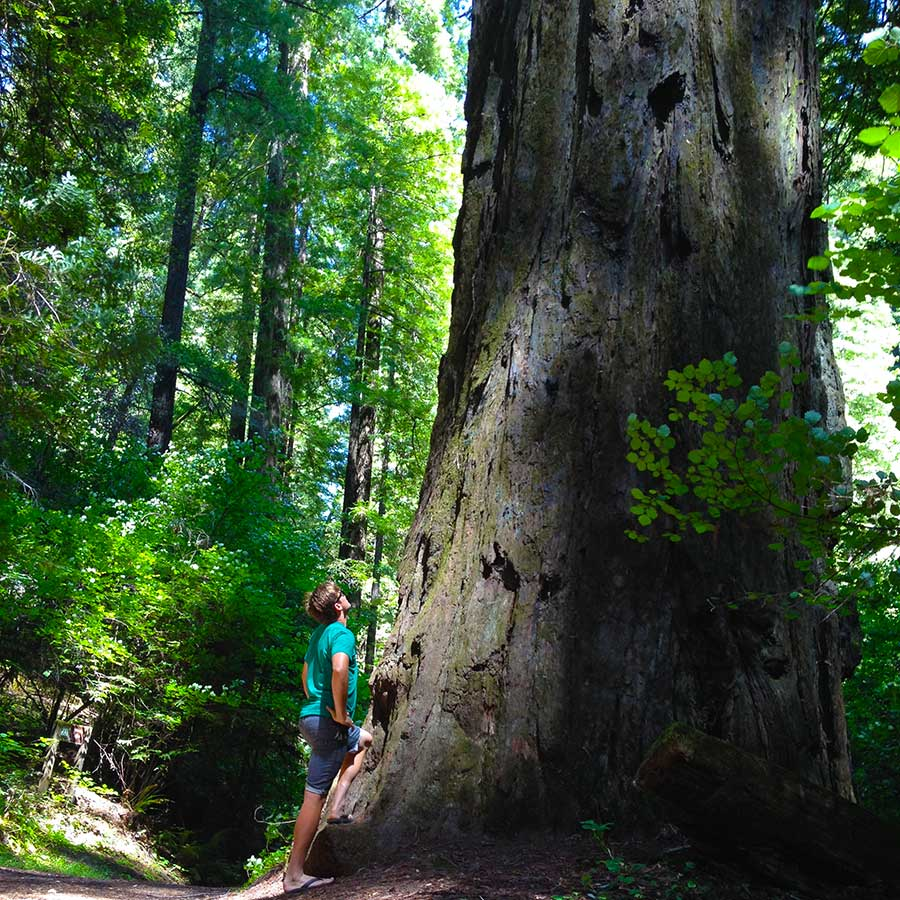 Alex Deibold marvels at the giant redwoods at Avenue of the Giants. Beautiful scenic byway that meanders along the South Fork Eel River.