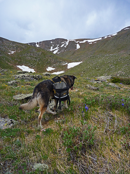Conan the dog wearing a Mountainsmith Dog Pack while out hiking in the Colorado high country.