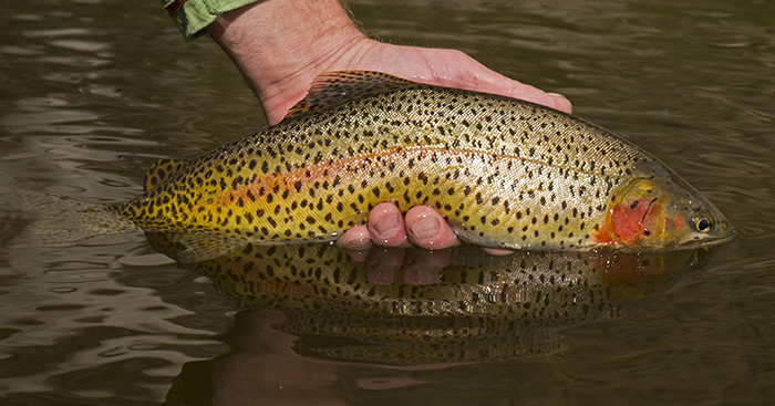 Cutthroat trout being released back into an unnamed lake in the Colorado high country
