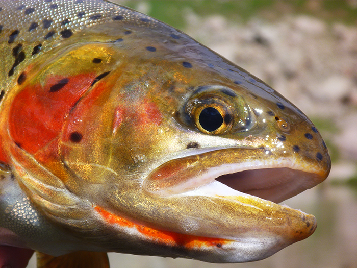 Cutthroat trout, caught in the Colorado high country by Mountainsmith Ambassador Jonathan Hill.