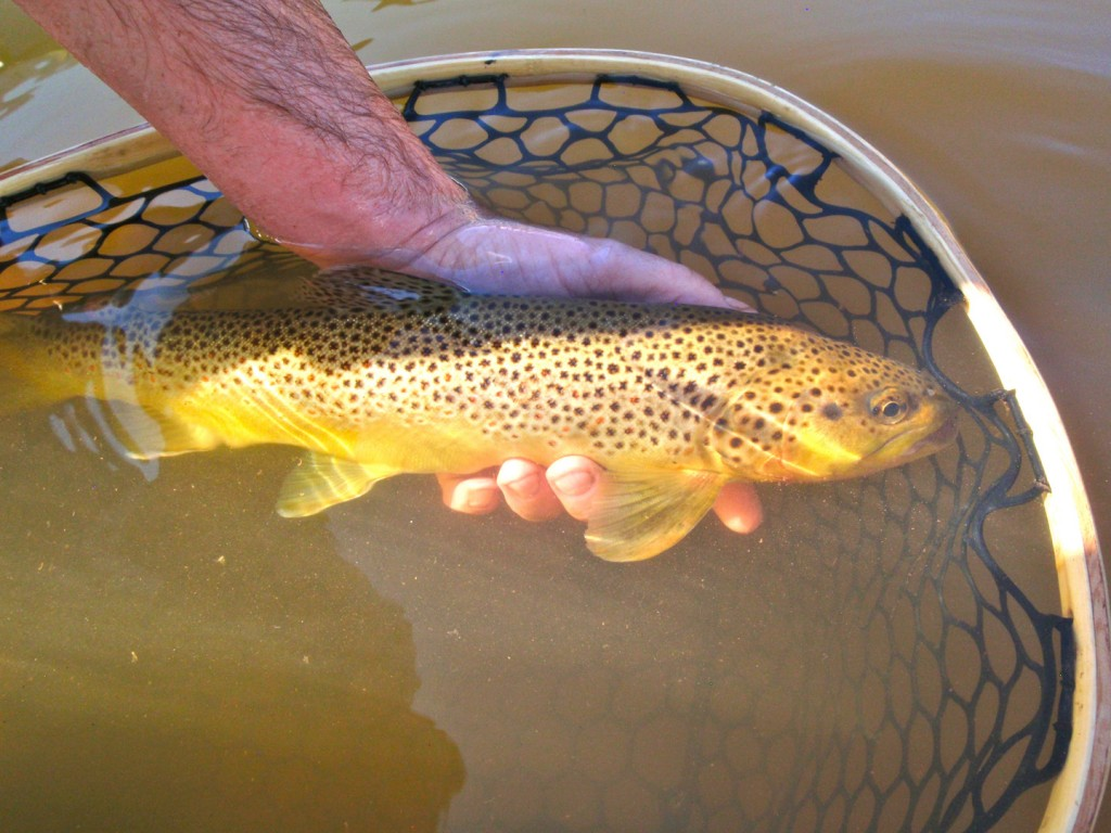 Brown trout in a net on the Colorado River taken by Patrick Obando