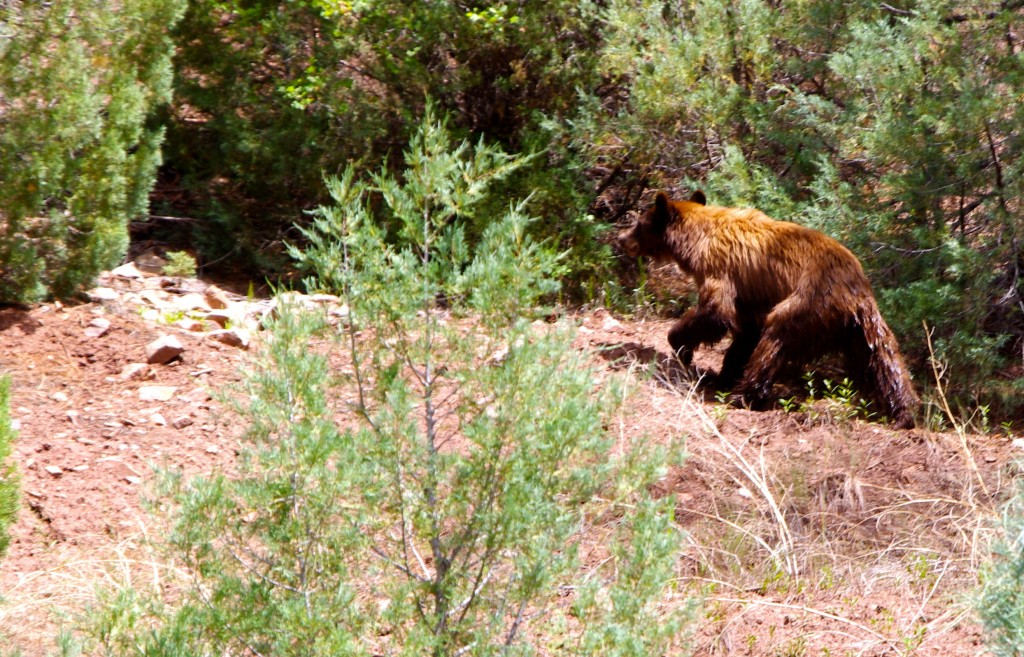 Mother black bear on the side of the Colorado river