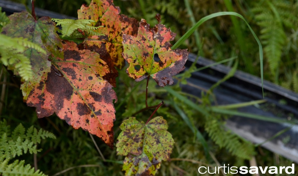 Fall starting to show its colors with a Mad River Glen scythe
