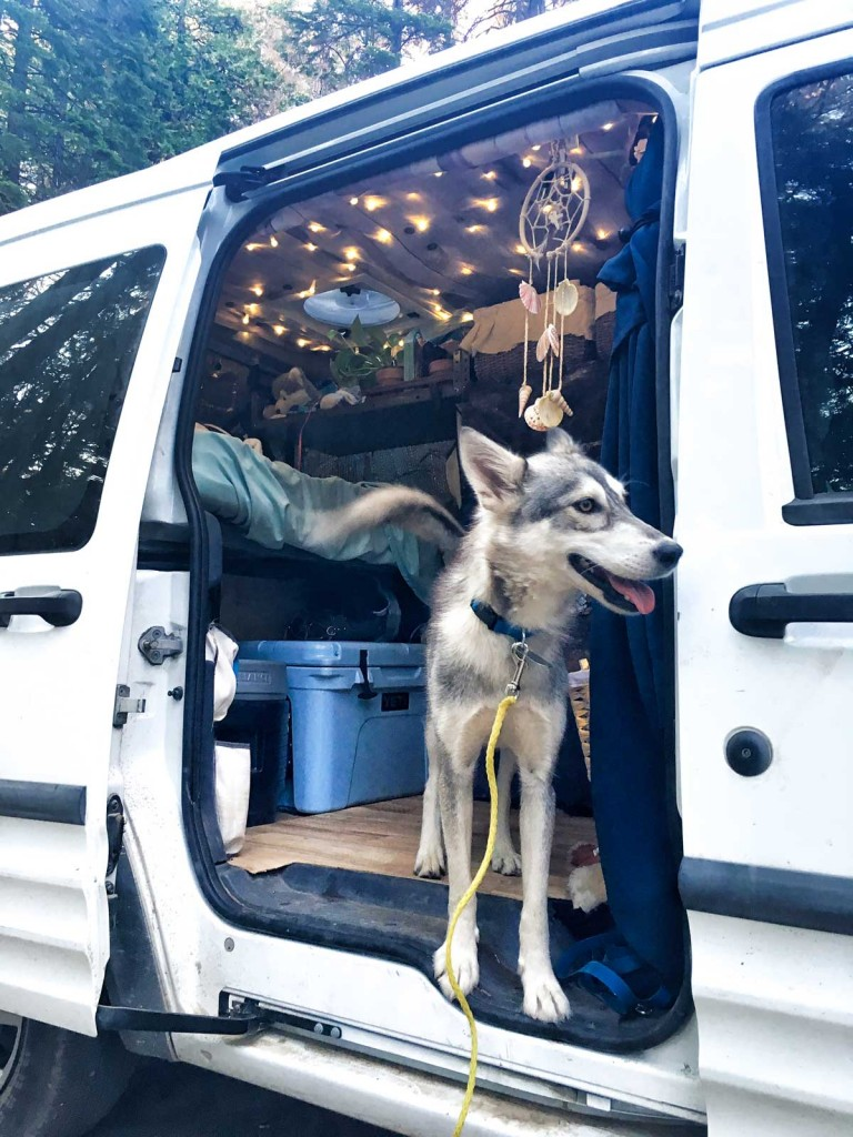 Kuna the little wolf in the tiny van debating whether or not to come outside the van
